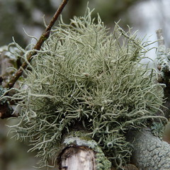 Usnea sp. (Dendroica cerulea) Tags: usnea parmeliaceae lecanorales lecanoromycetes ascomycota fungi lichen fruticoselichen winter johnsonpark highlandpark middlesexcounty nj newjersey fav10