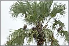 _DSC5596PJ_resultat (http://phj.bookfoto.com/) Tags: botswana philippe jubeau afrique delta okavango vautour