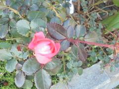 066 (en-ri) Tags: rosa rose sony sonysti foglie leaves