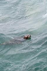 Harbor Seal Enjoying a Swim. (LisaDiazPhotos) Tags: la jolla cove lisadiazphotos san diego harbor seal enjoying swim