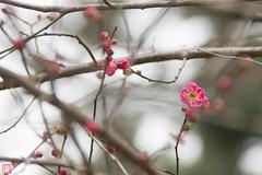 IMGP5533-8 (zunsanzunsan) Tags: 下日枝神社 山王森梅林 日和山 日枝神社 梅 神社 酒田市