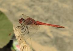 Red-veined Darter (Sympetrum fonscolombii) Male (Rezamink) Tags: sympetrumfonscolombii redveineddarter dragonflies odonata uae