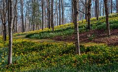 Spring with daffodils (Jon Ariel) Tags: georgia ga gibbs garden spring flowers daffodils northgeorgia gibbsgardens