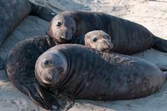 Trio of Elephant Seal Pups (_quintin_) Tags: elephantseal pups marinemammal animal anonuevo california wildlife