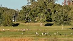 O1K_4891 (68photobug) Tags: 68photobug nikon d7000 sigmadg 150500mm polkcounty centralflorida usa birds outmybackdoor cranes sandhillcranes flight