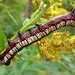 Brown-hooded Owlet Caterpillar on Goldenrod