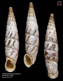 albinaria (albinaria) arcadica3 grece22mm1