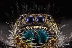 The Daring Jumping Spider - Phidippus audax (Karlgoro1) Tags: macro eye closeup canon bug insect eos spider photo jumping eyes focus stack 7d f28 audax daring the stacker mpe 65mm phidippus greatphotographers zerene macrolife finalartgallery