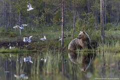 Smiling Finnish bear (Francesco Magoga Photography) Tags: bear wood wild lake nature beauty suomi finland landscape cub amazing europe outdoor bears hut shore swamp traveling wilderness nikkor scandinavia karelia mammals nationalgeographic taiga seaguls francescomagoga