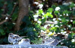 Bathtime (emmaellathomas) Tags: nature water outdoors birdbath housesparrow