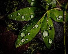 Autumn 2015 No. 1 (Nico_1962) Tags: leica autumn herfst waterdrops waterdruppel varioelmar leicat