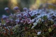 A closer look at frost... It's spiky! (liisatuulia) Tags: autumn frost porkkala explored kuura