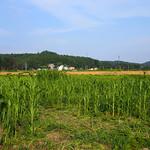 ソルガムを用いた被災農地や休耕地の活用の写真