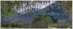 Searching for a kappa... (Calamity Jade) Tags: tree alva scotland hills illusion reflction ochilhills clackmannanshire ochills