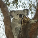 Koala bear Australien