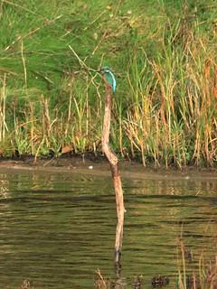 Kingfisher [Exlpore] (08499)
