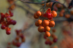 Bittersweet Fall (KsCattails) Tags: autumn sunset red orange macro fall nature fruit berry nikon bokeh outdoor seed vine arbor kansas bittersweet overlandparkarboretum d7000 kscattails