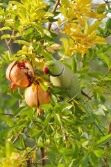 Parrot colors and fruits in the Autumn of Rome (al.scuderi71) Tags: autumn plants rome roma colors fruits parrot melograno frutti