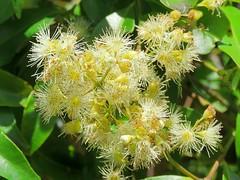 Syzygium floribundum 8 (barryaceae) Tags: kooloobung creek nature park port macquarie new south wales australia australianrainforestplant ausrfps myrtaceae myrtle family order myrtales