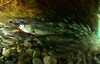 Salmon Cave-Dwellers (Fish as art) Tags: salmon pacificnorthwest streams harrisonlake biodiversity underwaterphotography chumsalmon streamrestoration unterwasserfotografie pacificsalmon fraserriversalmon paulvecseiphotography salmonecology