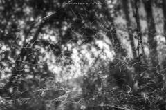 Telaraña_MAV4380 (http://cargocollective.com/MacarenaAltayo) Tags: parque palmas de cocalan palmasdecocalan palmachilena blanco y negro