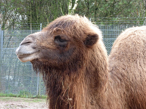 South Lakes Zoo - bactrian camel (3)