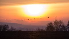 En plein vol (Smoke It 000) Tags: nikon d610 150600 tamron sunset sarthe france oiseau bird sun automne sky soleil