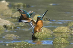 Parade-riposte (mehdiapic) Tags: kingfisher martin pêcheur nature wildlife fight combat