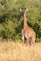 Baby Giraffe (Thomas Retterath) Tags: 2016 africa afrika allrightsreserved animals botswana copyrightthomasretterath giraffacamelopardalis giraffe giraffidae herbivore kwara mammals natur nature okavangodelta pflanzenfresser säugetier thomasretterath tiere wildlife