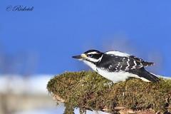 *** Pic chevelu / hairy woodpecker (ricketdi) Tags: bird cantley pic picchevelu hairywoodpecker woodpecker picoidesvillosus ngc coth5 npc