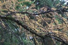 Larix laricina-17 (The Tree Library (TreeLib.ca)) Tags: tamarack larixlaricina