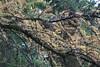Larix laricina-17 (Tree Library) Tags: tamarack larixlaricina