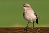 Mockingbird Portrait (MelRoseJ) Tags: lodi california unitedstates sonyalpha sal70400g sony sonyilca77m2 a77ii alpha autofocus nature mockingbird birds woodbridgeecologicalreserve