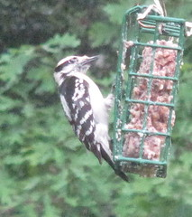 Downy Woodpecker (female); 20110427; US-VA-Virginia Beach (plantpollinator) Tags: dryobatespubescens dryobates picidae piciformes
