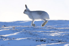 Mountain Hare (Ally.Kemp) Tags: mountain hares hare running wildlife white scottish scotland snow winter 2017 lepus timidus
