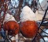 Winter apples - Pommes d'hiver (P9_DSCN2636-1F-20170105) (Michel Sansfacon) Tags: apple pomme winterapples pommesdhiver nikoncoolpixp900