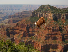 Sleepwalking Cow (roger901) Tags: grandcanyonandvegas surreal cow rope sleepwalking outdoor color funny humorous