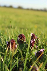 Red Dead Nettles, Lamium purpureum (LookingForLife) Tags: wildlife wild plants natural warm sunny sun spring evening daytime horizon landscape grass bright beautiful nature plant flower purple pretty red dead nettle lamium purpureum lamiumpurpureum