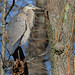 Heron at Rest in the Trees (dngovoni) Tags: animal autumn bird bombayhook greatblueheron heron wildlife
