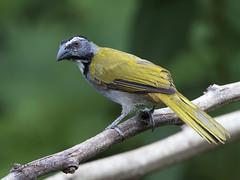 Black-headed Saltator (Saltator atriceps) (Jorge Chinchilla A.) Tags: blackheaded saltator atriceps costarica birds birdwatcher birdphoto la fortuna jorgechinchilla