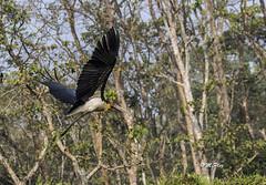 Marabu (Henry der Mops) Tags: 90a7819 marabu chitwan wildlife nepal asien chitwannationalpark raptiriver vögel birds mplez henrydermops canoneos7dmarkii canonlens100400mm jungle dschungel rapti unescowelterbe u unescoworldheritage