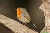 _F0A8851.jpg (Kico Lopez) Tags: erithacusrubecula galicia lugo miño petirrojo spain aves birds rio