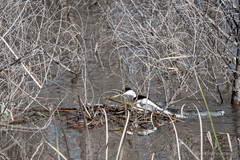 untitled-1098.jpg (Kayaking Gram) Tags: nests westerngrebes lakehodges sandiegocounty southofescondido