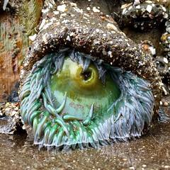 sea anemone (eb78) Tags: iphone iphoneography ca california northbay marincounty bolinas seaanemone