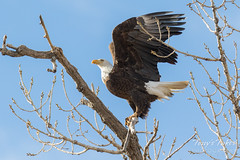 Bald eagle takes a leap - sequence - 4 of 16 (TonysTakes) Tags: eagle baldeagle raptor bird wildlife colorado coloradowildlife jeffersoncounty