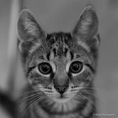 Resistance is futile (mistermacrophotos) Tags: housecat gray bigeyes kawaii stripy weeks 12 baby cat excellent kitten mojo denmark danmark animals tabby supercute ears