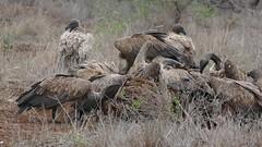 White-backed Vultures (Gyps africanus) on zebra carcass ... (berniedup) Tags: whitebackedvulture gypsafricanus vulture taxonomy:binomial=gypsafricanus bird carcass satara kruger