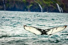 Creature of the Sea (webeagle12) Tags: iceland nikon d7200 europe mountains landscape vegetation rocks nature mountain earth planet husavik ocean whale tail