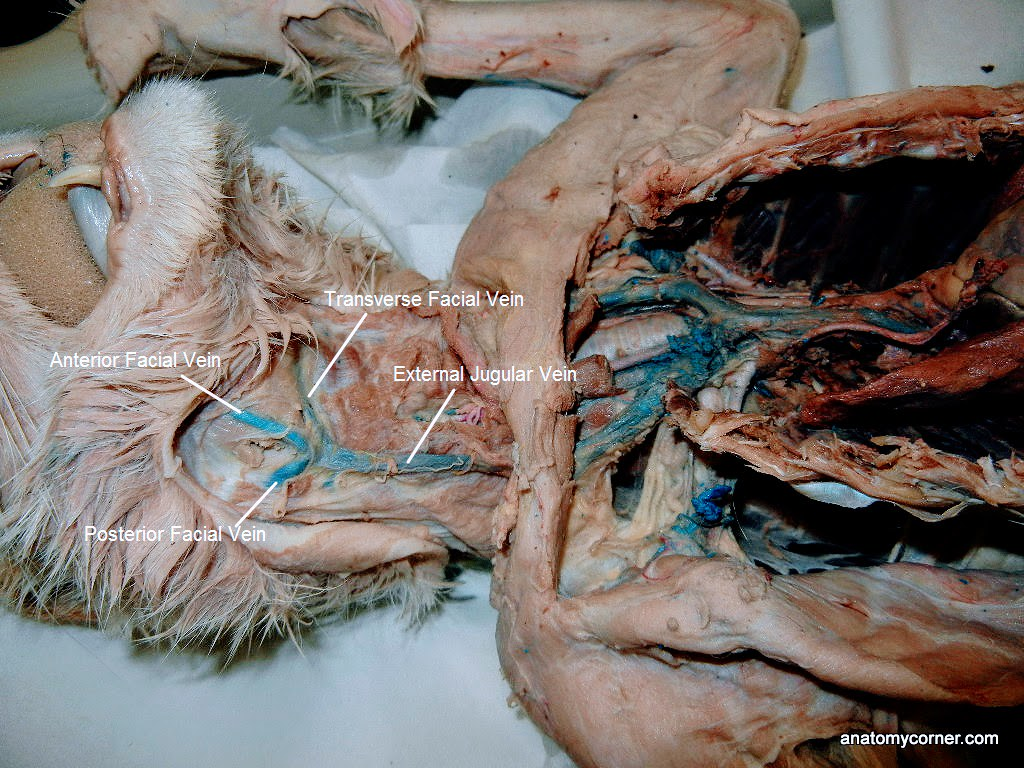 Major Arteries and Veins of the Cat | Anatomy Corner