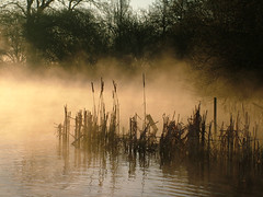 Misty morning reeds (Kevin Day) Tags: uk england mist lake topf25 water fog sunrise reeds dawn golden interestingness bravo britain interestingness1 slough berkshire kevday sppc sppccandid